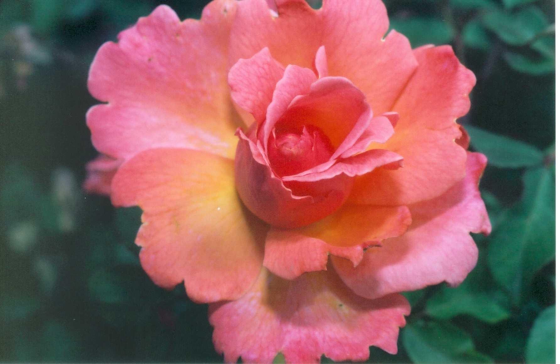 buck rose - Fragrant Roses